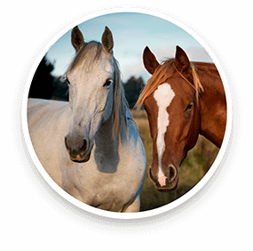 red light therapy for horses